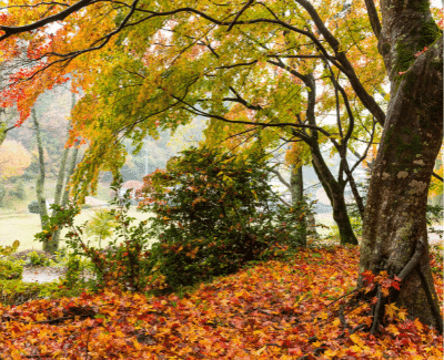 Landscaping-St-Catharines-Landscaping-in-St-Catharines-Planting-in-the-Fall-tree surrounded by fallen leaves.